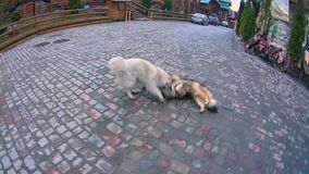 Dogs playing on the road stock footage