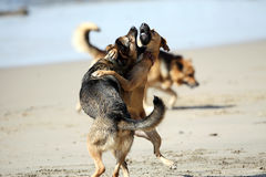 Dogs Playing Rough. A German Shepherd puppy and an adult Black Mouth Cur play fighting on the beach. The Shepherd puppy is leading the charge, while this is Lily royalty free stock photos