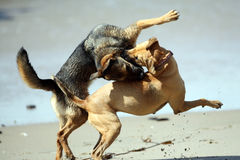 Dogs Playing Rough Royalty Free Stock Image