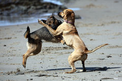 Dogs Playing Rough Stock Photos