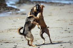 Dogs Playing Rough. A German Shepherd puppy and adult Black Mouth Cur, play fighting on the beach.  The Shepherd puppy is leading the charge, while this is Lily` Stock Photo