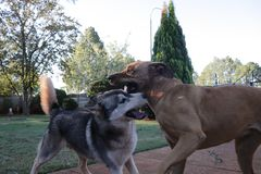Dogs Playing Rough stock image