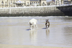 Dogs playing and running on the beach. Detail of a couple of domestic dogs in the sea, animals and nature Stock Photo