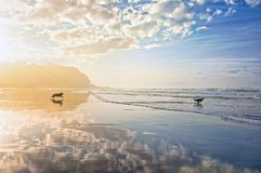 Dogs playing and running on beach. Photo taken in Sopelana, Basque Country, Spain royalty free stock photos