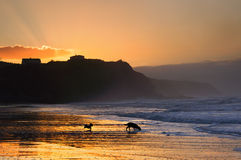 Dogs playing and running on beach at sunset Stock Photos