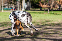Dogs playing and running in a park Stock Photography