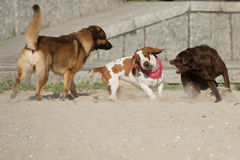 Dogs playing on the sand royalty free stock photography