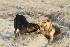 Dogs playing on sandy beach Royalty Free Stock Photography