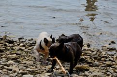 Dogs playing at sea. With a branch Royalty Free Stock Image