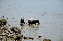 Dogs playing at sea Royalty Free Stock Images