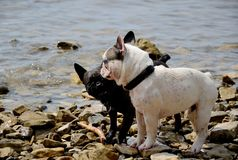 Dogs playing at sea Stock Photography
