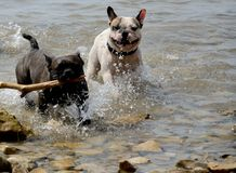 Dogs playing at sea. Two dogs playing at sea on the beach Royalty Free Stock Photo
