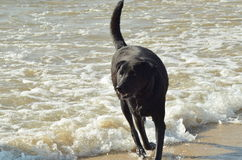 Dogs Playing on Shores. Every one deserves enjoyment: The Dog enjoying the waves on shores Royalty Free Stock Photography