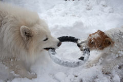 Dogs playing in snow. With rubber toy Royalty Free Stock Image