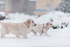 Dogs playing on the snow Stock Image