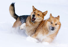 Dogs playing in the snow. Two dogs playing in the snow Royalty Free Stock Images