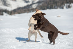Dogs while playing on the snow Royalty Free Stock Images