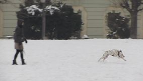 Dogs playing in the snow. During winter stock video