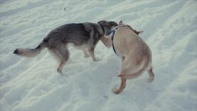Dogs are playing in the snow. Frozen lake stock video