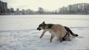 Dogs are playing in the snow. Frozen lake stock footage