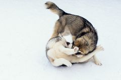 Dogs playing in the snow. Siberian husky dogs have fun fighting and biting on walk.Game and communication on the street stock images