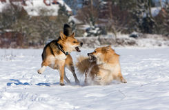 Dogs playing in the snow Royalty Free Stock Image