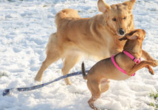 Dogs playing in the snow stock photos