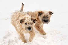 Dogs playing on the snow Stock Photo