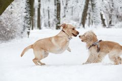 Dogs Playing in Snow. Winter dog walk in the park stock image