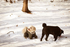 Dogs playing in the snow in winter Royalty Free Stock Photo
