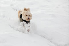Dogs playing in the snow in winter Stock Images