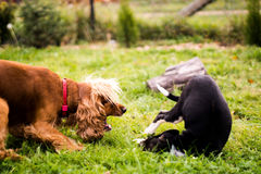 Dogs are playing - spaniel and scrub Stock Photo