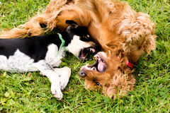Dogs are playing - spaniel and scrub stock photography