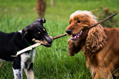Dogs are playing - spaniel and scrub royalty free stock images
