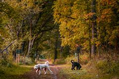 Dogs playing at State Park in Peak Fall Color. Two dogs playing in forest in Wisconsin during peak Fall color Royalty Free Stock Photography