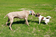 Dogs playing with the stick. On the grassy field royalty free stock photography