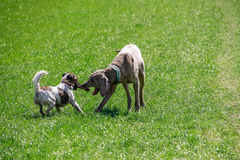 Dogs playing with the stick. On the grassy field stock image