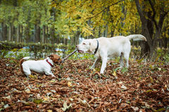 Dogs playing with stick Royalty Free Stock Photo