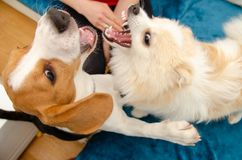 Dogs playing together indoors on a couch royalty free stock photos
