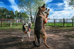Dogs playing together off-leash. Siberian husky fuuny fight with big sheepdog. Happy dogs jump and jostle. Dogs playing together off-leash. Siberian husky fuuny stock images