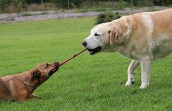 Dogs playing tug with rope toy. Labrador and a terrier playing tug with a rope toy royalty free stock photos