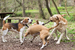 Dogs playing tug Royalty Free Stock Photos