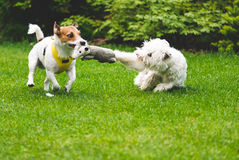 Dogs playing tug war  with a toy. Jack Russell Terrier vs West Highland White Terrier Stock Photos
