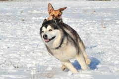 Dogs playing. Two dogs are playing in the snow Stock Photography