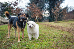 Dogs playing. Two dogs playing with a stick. Maremma sheepdog puppy Stock Photography