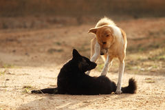 Dogs playing in warm morning light Royalty Free Stock Photography