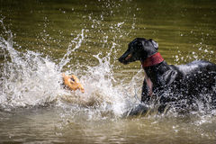 Dogs playing with water in a lake Stock Photography