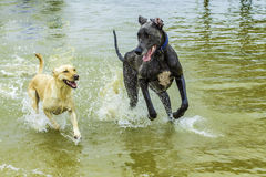 Dogs Playing in the Water Royalty Free Stock Photos