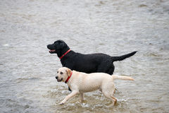Dogs playing in the water. Two dogs playing together in the water, waiting for owner command Royalty Free Stock Photos