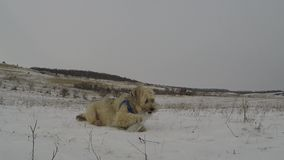 Dogs playing in winter stock video footage